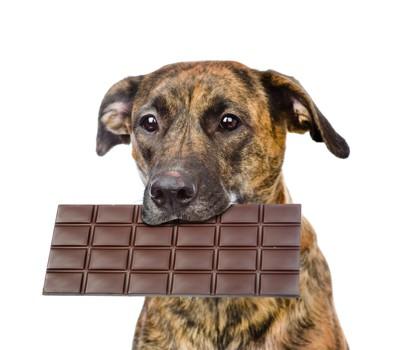 チョコレートをくわえた犬