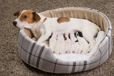 犬用ベッドで子犬たちに授乳する母犬