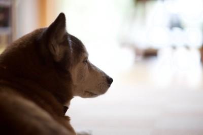 遠くを見つめる柴犬