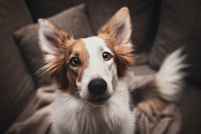ソファーから見つめる白茶の犬