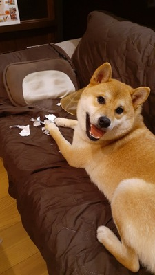 国勢調査をやっつけた柴犬