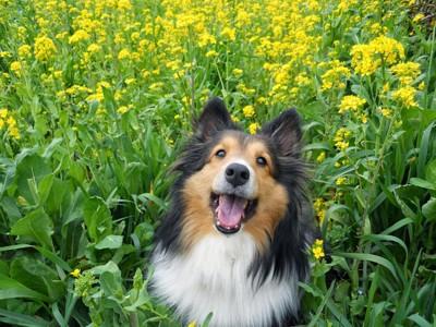 菜の花畑の犬
