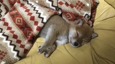 毛布を被って寝てる犬