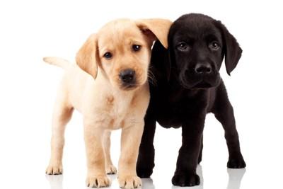 イエローと黒のラブラドールの子犬