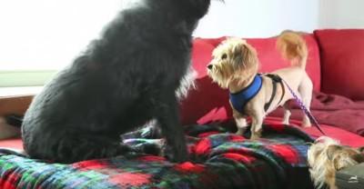 ソファの上に集まる犬
