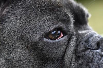 充血した犬の目アップ