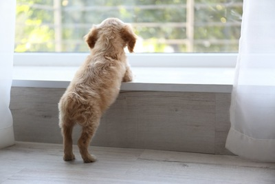お留守番中に窓の外を見つめる子犬の後ろ姿