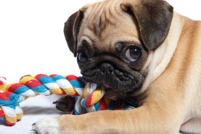 一匹でおもちゃで遊ぶ犬
