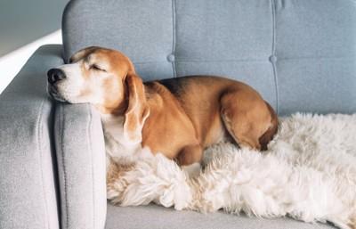 ソファーのクッションの上で眠っている犬