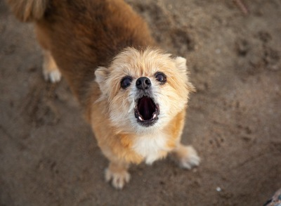 こちらを見上げて吠える犬
