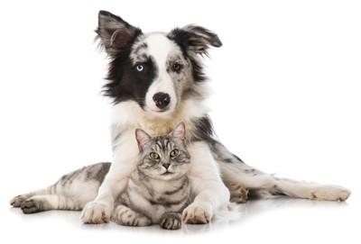 オッドアイの犬と猫