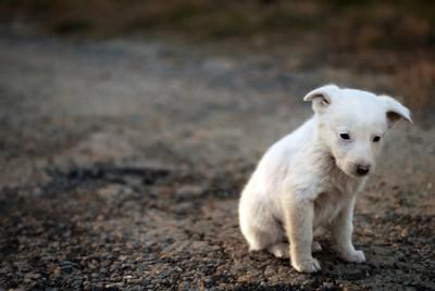 座っている白い小さな犬