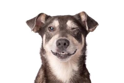 ウィンクする犬の正面顔アップ