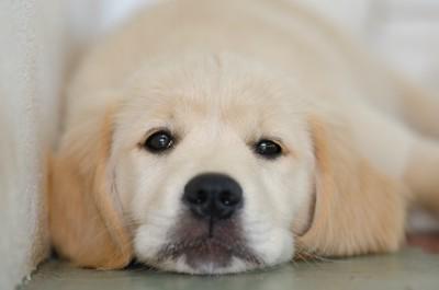 伏せてこちらを見つめるゴールデンレトリバーの子犬