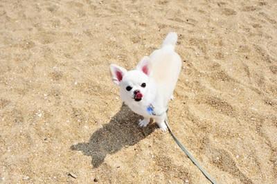 砂浜で散歩している犬