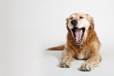 伏せて大きくあくびをする犬