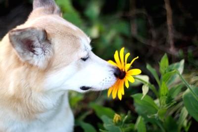 花の匂いを嗅いでいる犬