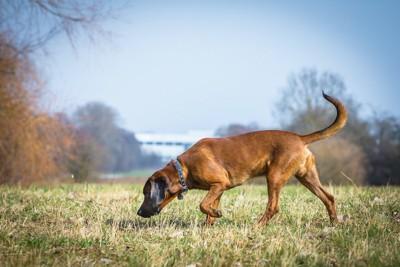 草むらでニオイを追跡する犬