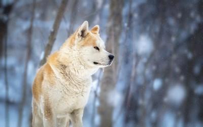 雪の中の秋田犬