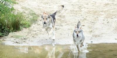 走る2頭のオオカミ
