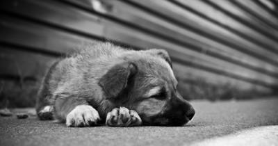 伏せている子犬のモノクロ写真