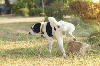 大きな石にマーキングする犬