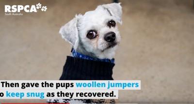 セーターを着た白い犬