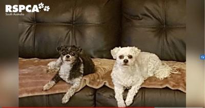 ソファに寝る2匹の犬
