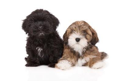 毛色の違うラサアプソの子犬2頭