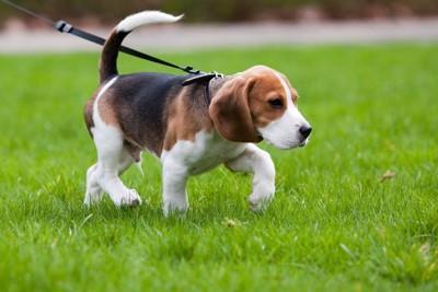 芝生を歩くビーグル
