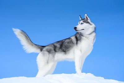 雪上のシベリアンハスキー