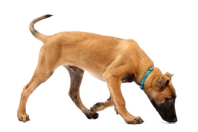 下を向いて歩く青い首輪を着けた犬