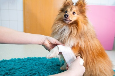 前足に包帯を巻かれている犬