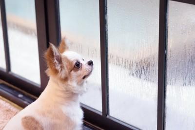 窓ガラスの結露を見上げる犬