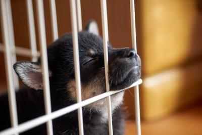 ケージの柵に顎を乗せて眠る子犬