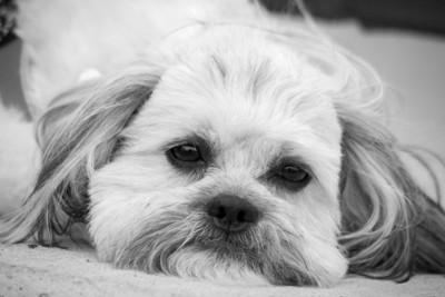 顎を地面につけている犬、モノクロ写真