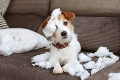 破壊したクッションの中綿を頭に乗せる犬