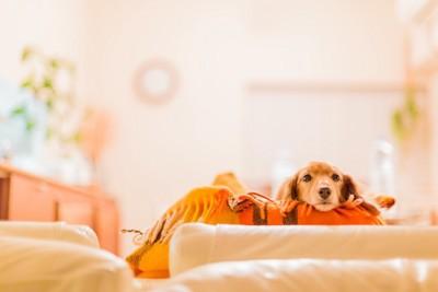 オレンジ色のブランケットから顔を覗かせるダックスフント