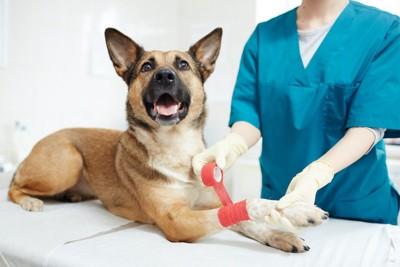 獣医師に足の治療をしてもらう犬