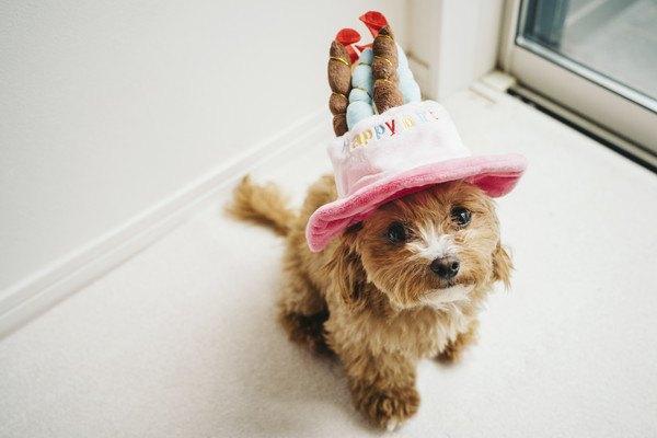 帽子をかぶる小型犬