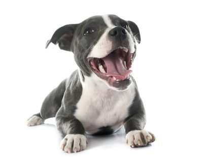 スタフォードシャーブルテリアの子犬
