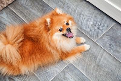 笑顔で飼い主を見上げている犬