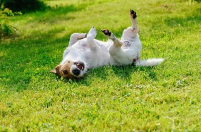 芝生に背中を擦り付けている犬