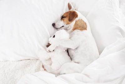 ぬいぐるみと眠るビーグル子犬