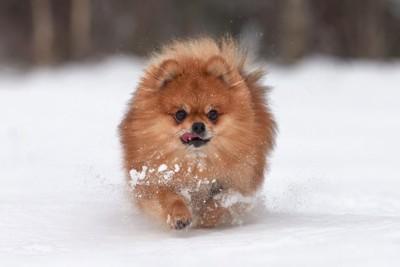 雪の上を走ってくるポメラニアン