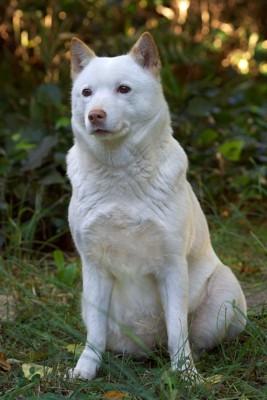 オスワリする北海道犬