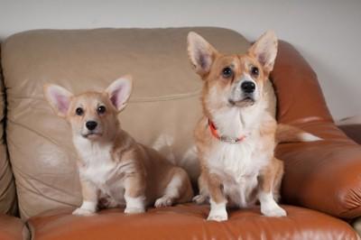 ソファに乗る犬達