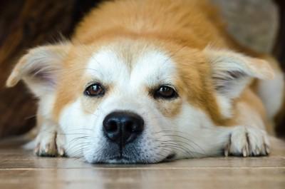 床に顎をつけている犬