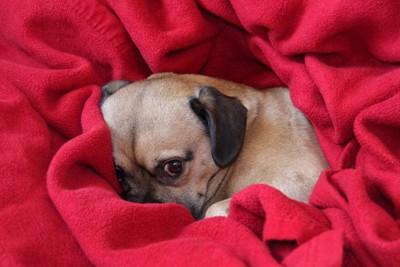 毛布にくるまりこちらを見ている怖がりな犬