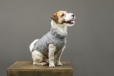 セーターを着たジャックラッセルテリア